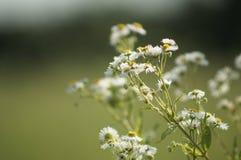 Belle et curative fleur de marguerite images libres de droits