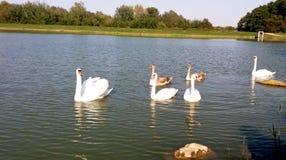 Belle famille des cygnes sur le lac photos stock