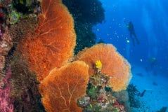Belle fan de mer dans Andaman du nord, Thaïlande image libre de droits