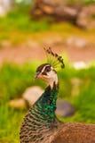 Belle femelle de paon d'oiseau dehors Image stock