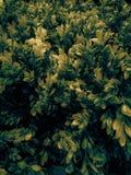 Belle feuille d'arbre de plan rapproché ou laisser à illustration la couleur jaune plantes ornementales dans la chambre et le jar photographie stock libre de droits