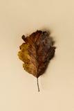 Belle feuille d'automne sur le fond en pastel Photos stock