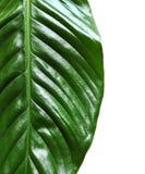 Belle feuille de Spathiphyllum sur le fond blanc, Image stock