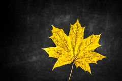 belle feuille jaune d'automne sur le fond noir, Images stock