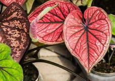 Belle feuille lumineuse de Caladium dans le jardin photos libres de droits