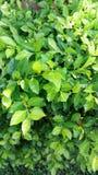 belle feuille verte dans le jardin Photo stock