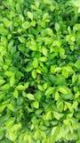 belle feuille verte dans le jardin Photographie stock libre de droits