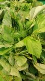 belle feuille verte dans le jardin Image libre de droits