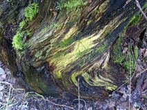 Belle figure nel ceppo di un albero in Finlandia, qui in Scandinavia Fotografia Stock