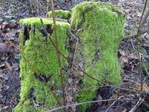 Belle figure nel ceppo di un albero in Finlandia, qui in Scandinavia Immagine Stock