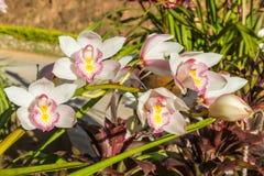 Belle fin blanche d'orchidée de fleur de cymbidium  image stock