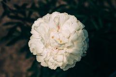 Belle fin blanche de fleur de pivoine vers le haut de l'élevage dans le jardin Couleurs fan?es photographie stock