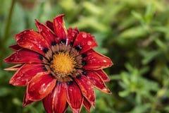 Belle fin d'un chrysanthème rouge pendant les proces de arrosage images libres de droits