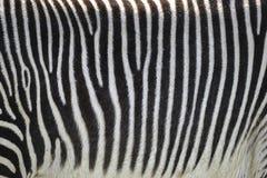 Belle fin de Grevyi d'Equus de zèbre du ` s de Grevy de fourrure rayée Photo libre de droits