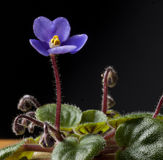 Belle fin de violette  Photo stock