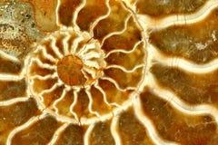 Belle fin fossile de Nautilus vers le haut photographie stock