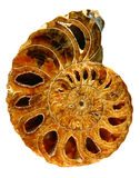 Belle fin fossile de Nautilus vers le haut sur le blanc Photographie stock libre de droits
