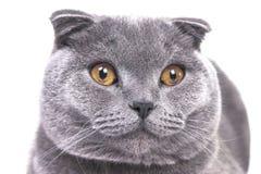 Belle fin grise aux oreilles tombantes écossaise de grand chat Images stock