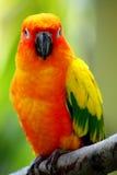 Belle fin jaune d'oiseau de Conures vers le haut Images libres de droits