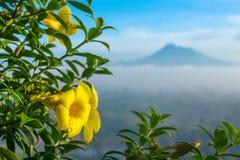 Belle fin jaune de fleur avec un volcan de Merapi image stock