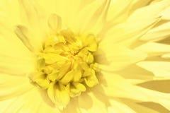Belle fin jaune de fleur de dahlia  Fond de fleur photo libre de droits