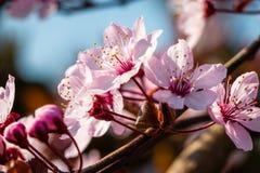 Belle fin vers le haut de nigra de cerasifera de prunus de fleurs photo stock