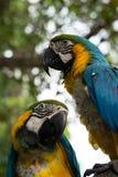 Belle fin vers le haut des perroquets colorés d'ara sur un arbre dans la jungle verte images stock