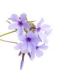 Belle fioriture blu del flox Immagine Stock