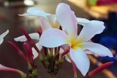 Belle fioriture profumate bianche con giallo Fotografia Stock