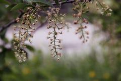 Belle fioriture stesse della ciliegia di uccello nel parco fotografia stock