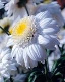 Belle fleur blanche de chrysanthèmes dans le jardin Image stock