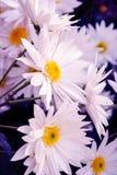 Belle fleur blanche de chrysanthèmes dans le jardin Photo stock