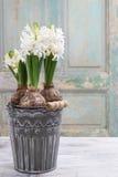 Belle fleur blanche de jacinthe Photo libre de droits