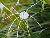 Belle fleur blanche de lis d'araignée Image libre de droits