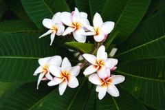 Belle fleur blanche de plumeria Images stock