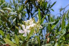 Belle fleur blanche fleurie sur un fond des feuilles de vert et du ciel bleu Photo libre de droits