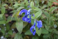 Belle fleur bleue Photo libre de droits