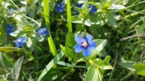 Belle fleur bleue dans les domaines verts Images libres de droits