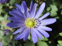 Belle fleur bleue de ressort Photo stock