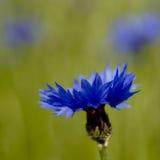 Fleur bleue lumineuse de maïs Photographie stock