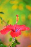 Belle fleur chinoise Image libre de droits