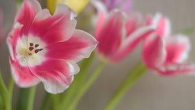 Belle fleur colorée au loin ouverte de tulipes d'isolement banque de vidéos