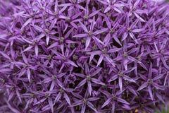 Belle fleur d'allium photos stock