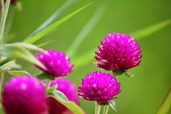 Belle fleur d'amaranthe de globe fraîche en nature photographie stock