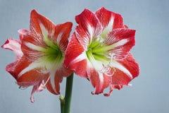 Belle fleur d'amaryllis de fleurs au printemps Image stock