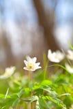 Belle fleur d'anémone de perce-neige Photographie stock libre de droits