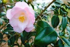 Belle fleur d'arbre Photos stock
