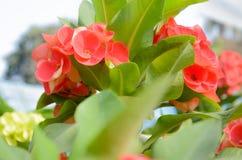 Belle fleur d'euphorbe en Thaïlande Image libre de droits