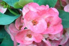 Belle fleur d'euphorbe en Thaïlande Photos stock