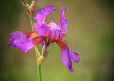 Belle fleur d'iris barbu images libres de droits